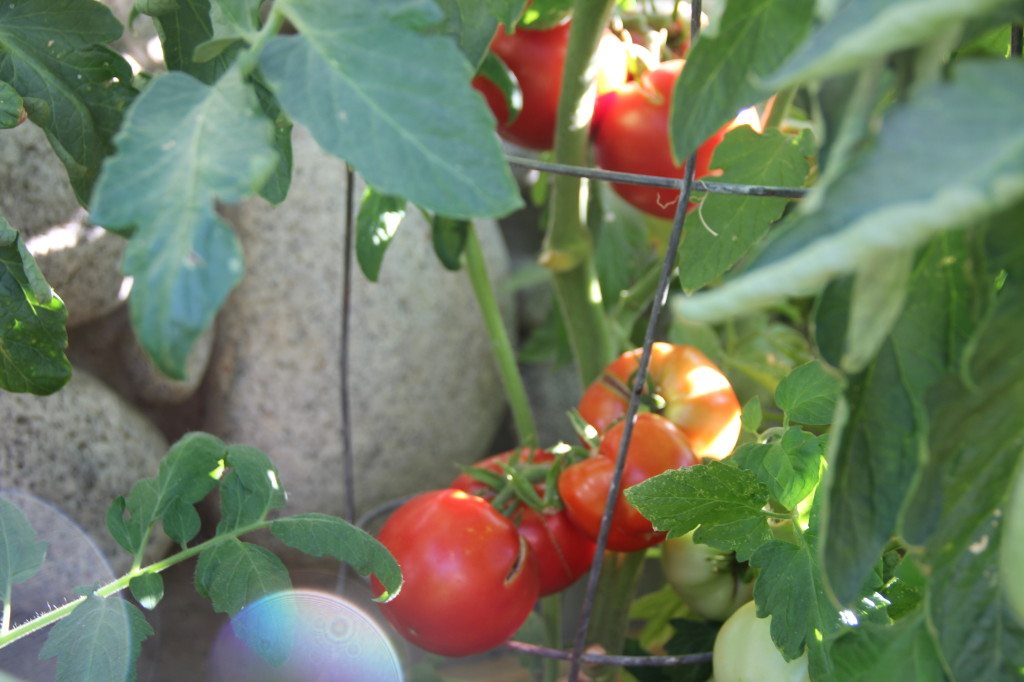 alipyper - tomatoes in the garden